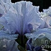 Blooming Iris Poster