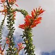 Blooming Ocotillo Poster