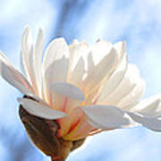 Blooming Star Magnolia Poster