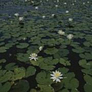 Blooming Water Lilies Fill A Body Poster