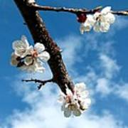 Blossoming Apricot Poster