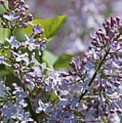 Blossoming Hyacinthiflora Lilacs Poster