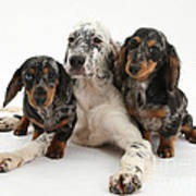 Blue Belton Setter And Dachshund Pups Poster