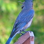 Blue Boy My Yard Bird Poster