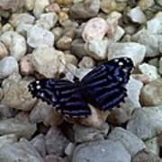 Blue Butterfly On The Rocks Poster