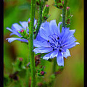 Blue Chicory Flower Poster