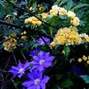Blue Clematis With Yellow Lady Banks Rose Poster