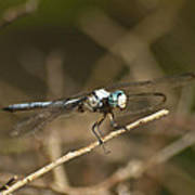 Blue Dasher 8769 Poster