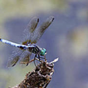 Blue Dasher Dragonfly Poster by Chris Hill