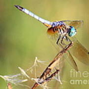 Blue Dasher On Twig Poster