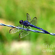 Blue Dragonfly On Barb Wire Poster