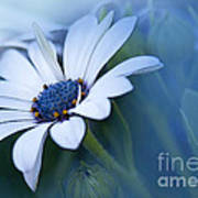 Blue Eyed African Daisy Poster