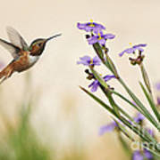 Blue-eyed Grass Wildflowers And Rufous Hummingbird Poster