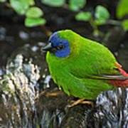 Blue Faced Parrot Finch Poster