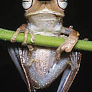 Blue-flanked Tree Frog Poster