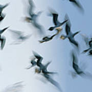 Blue-footed Booby Sula Nebouxii Flock Poster