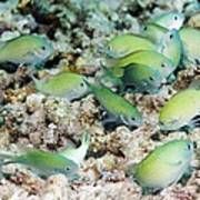 Blue-green Chromis On A Reef Poster