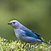 Blue-grey-tanager Poster
