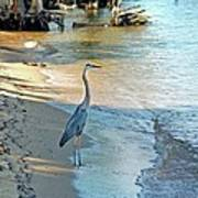 Blue Heron On The Beach Poster