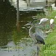 Blue Heron With Ibis Poster