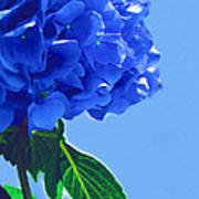 Blue Hortensia Hydrangea Poster
