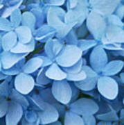 Blue Hydrangea Close-up Poster
