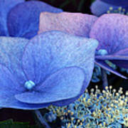 Blue Hydrangea. Poster