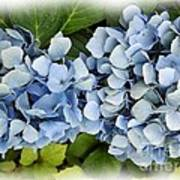 Blue Hydrangeas With Watercolor Effect Poster