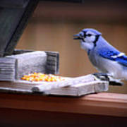 Blue Jay On Backyard Feeder Poster