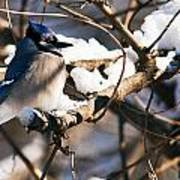 Blue Jay Staying Warm Poster