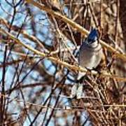 Blue Jay Thinking Poster