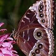 Blue Morpho Butterfly On Flower Poster
