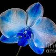Blue Orchid Bloom Poster