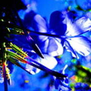 Blue Plumbago Flowers Poster by Catherine Natalia  Roche