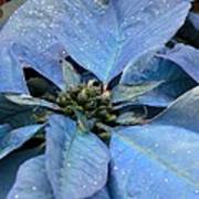 Blue Poinsettia Poster