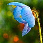 Blue Poppy Dreams Poster