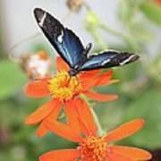 Blue Sara On Orange Sunflower Poster