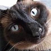Blue Siamese Eyes Poster