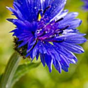 Blue Single Cornflower Poster