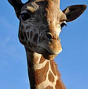 Blue Sky Giraffe Poster
