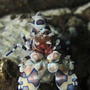 Blue Spotted Harlequin Shrimp, Bali Poster