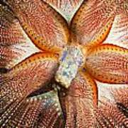 Blue-spotted Sea Urchin IIi Poster