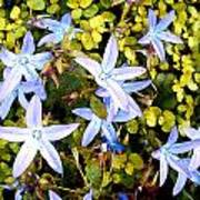 Blue Star Flowers Poster