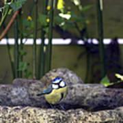 Blue Tit On Bird Bath Poster by Jane Rix
