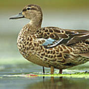 Blue-winged Teal Anas Discors Female Poster