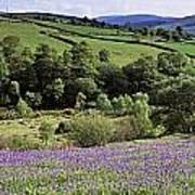 Bluebells In A Field, Sally Gap, County Poster