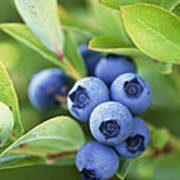 Blueberries Growing On A Shrub Poster
