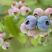 Blueberries (vaccinium Sp.) Poster