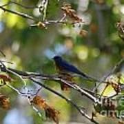Bluebird At Rest Poster