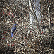 Bluebird In Barberries Squared Poster